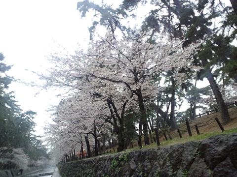 花見_ビジュー_桜並木