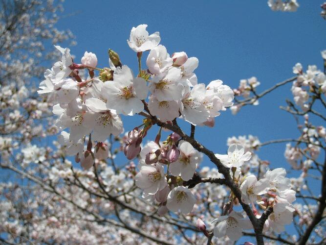 IMG_6937桜