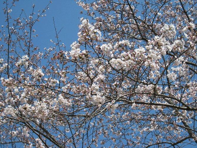 IMG_6941桜
