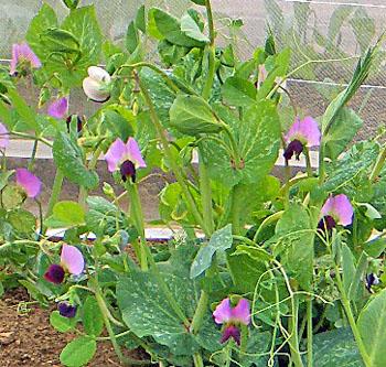 畑の豆の花