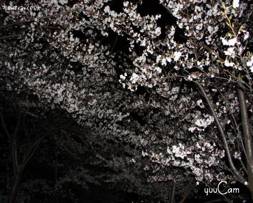 090406sakura02_convert_20090407181124.jpg