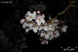 090406sakura03_convert_20090407181157.jpg