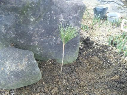 クロマツ苗木