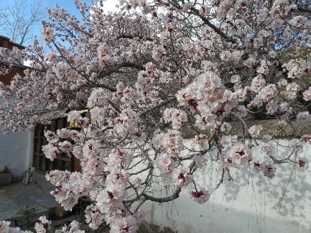 Alchi Choskor flower3