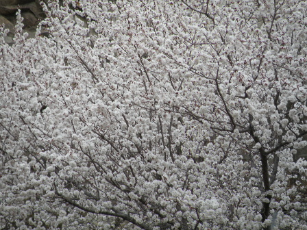 Apricot blooming 3