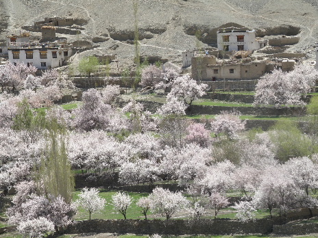 Apricot flower Takmatic4