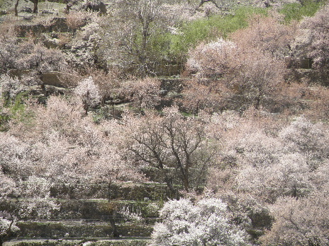 Apricot flower Takmatic1