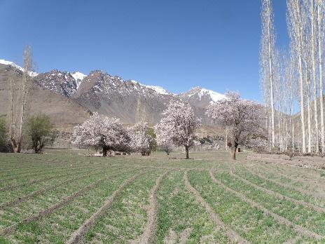 apricot flower basgo