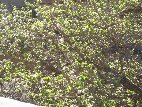 Apple flower 2011 april