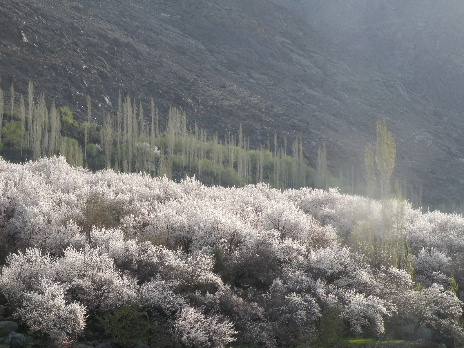 Kargil apricot flower1