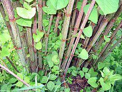 250px-Fallopia-japonica(Staude).jpg
