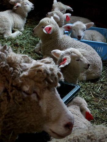 子羊うじゃうじゃ・まかいの牧場