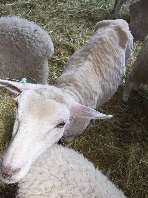 羊さん さっぱり