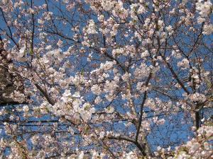 桜咲いてもまだ寒い!
