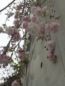 枝垂れ桜の八重