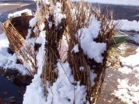 冬出しうこぎ苗木の特価販売