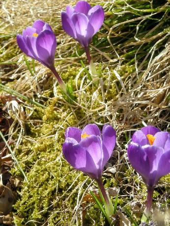 クロッカス紫1