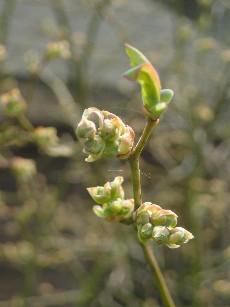 ブルーベリーの花芽