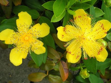 ヒペリカム開花