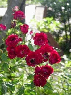雰囲気のあるバラ