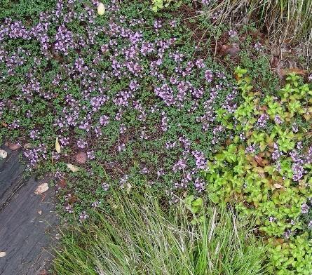 キャラウェイ・タイムの花