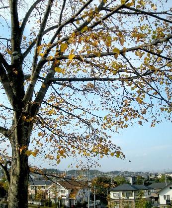 菩提樹の樹