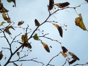 菩提樹の実と苞