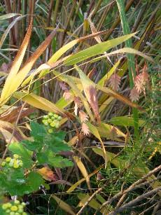 小判草の黄葉