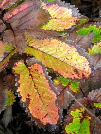 カライトソウの紅葉2