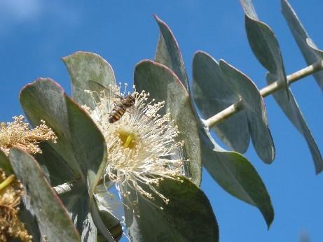 ユーカリの花
