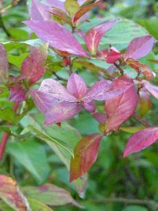 ブルーベリーの紅葉(10月上旬)