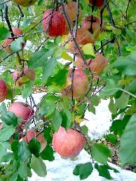真っ赤なリンゴ2