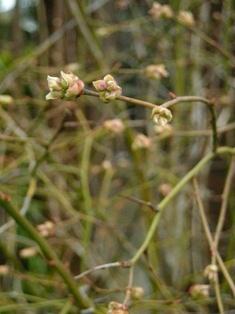 ブルーベリーの花芽 (3)