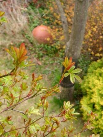 黄モッコウの新芽とテラコッタボール
