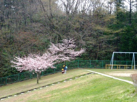 校庭の桜の木1