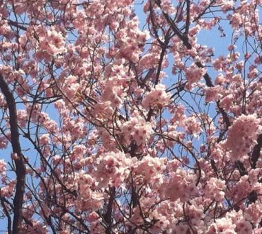 早咲き桜 1