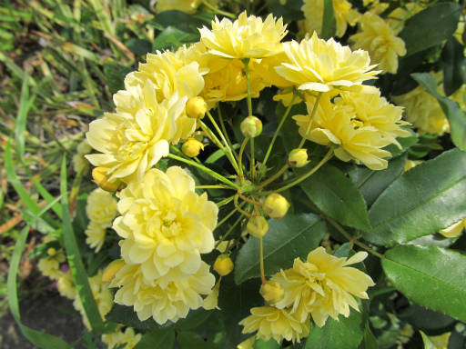 20110503・植物02-1・モッコウバラ
