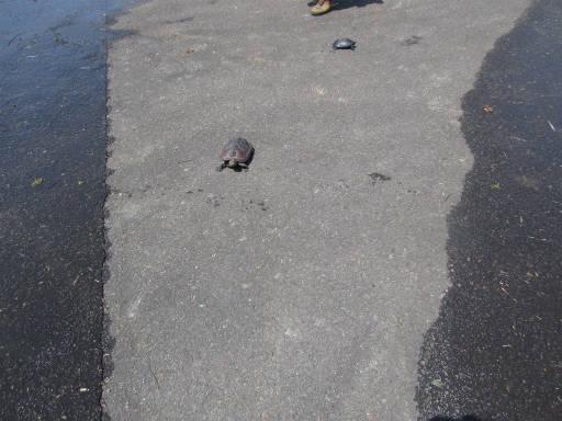 20110515・松之山カメさん08
