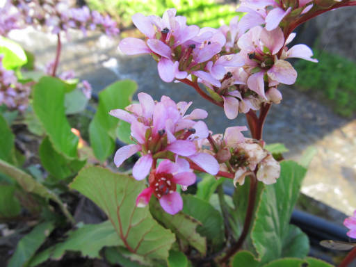 20110515・松之山植物04・ヒマラヤユキノシタ