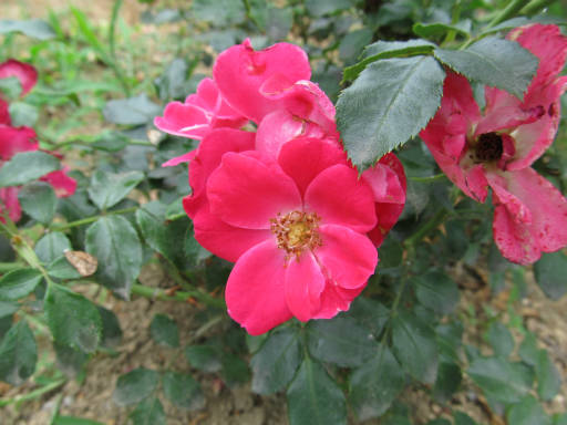 20110625・敷島公園ばら園のバラ25-2