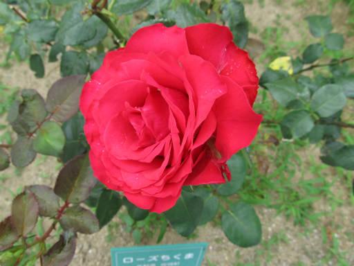 20110625・敷島公園ばら園のバラ28-2