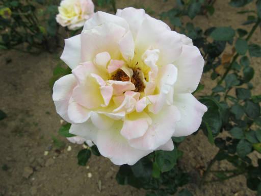 20110625・敷島公園ばら園のバラ31-2