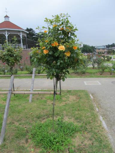 20110625・敷島公園ばら園のバラ33-3