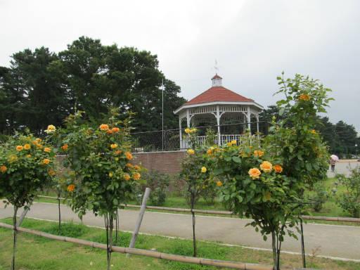 20110625・敷島公園ばら園のバラ33-4?