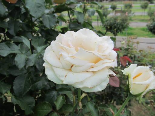 20110625・敷島公園ばら園のバラ36-2