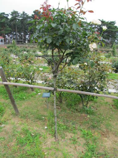 20110625・敷島公園ばら園のバラ36-3