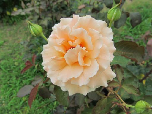 20110625・敷島公園ばら園のバラ35-2