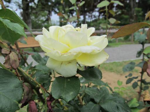 20110625・敷島公園ばら園のバラ38-2