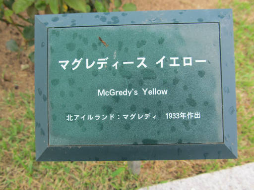 20110625・敷島公園ばら園のバラ38-1