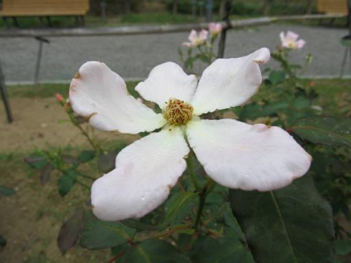 20110625・敷島公園ばら園のバラ39-2